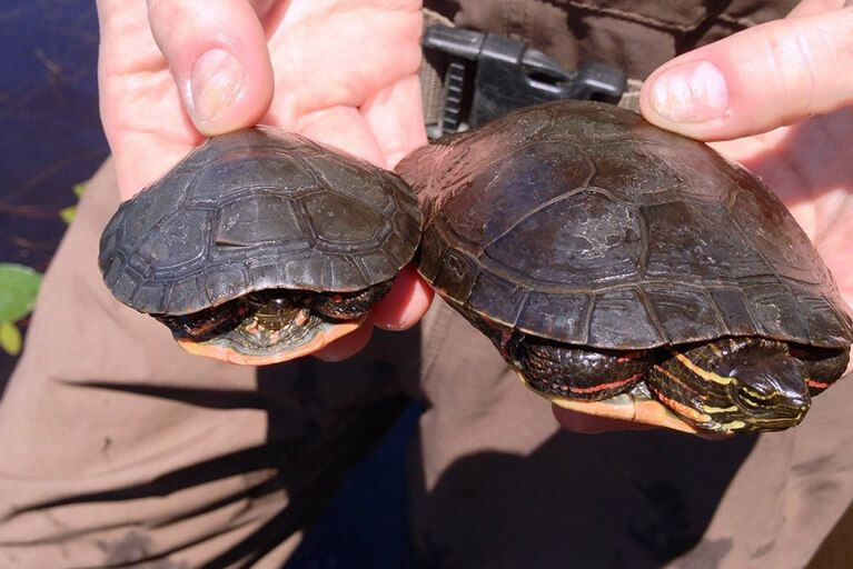 Two turtles examined as part of an environmental study.