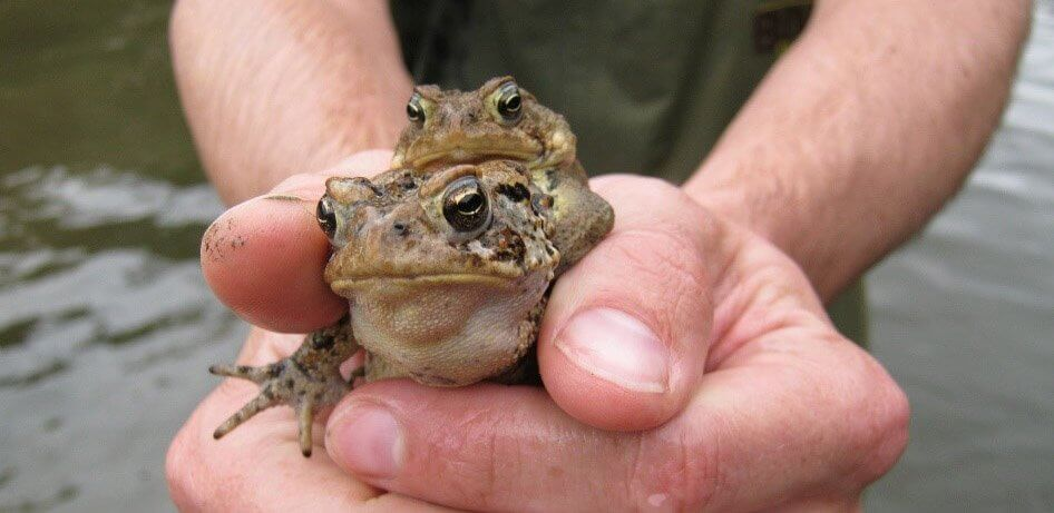 Two frogs capture and examined as part of an environmental study.